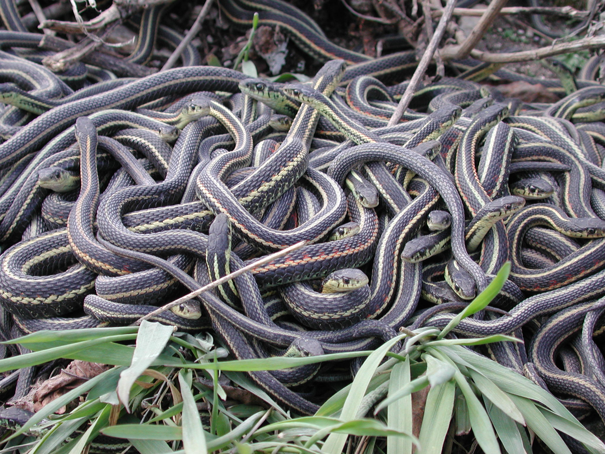 A pile of snakes